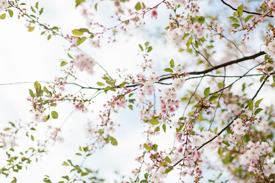körsbärsblommor i stockholm